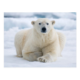 Adult polar bear on the summer pack ice postcard