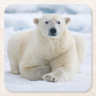 Adult polar bear on the summer pack ice square paper coaster