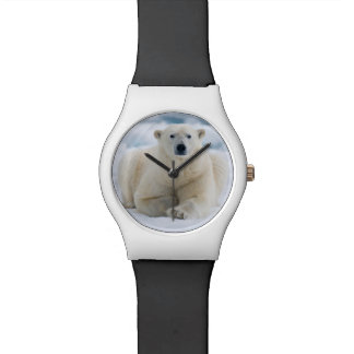 Adult polar bear on the summer pack ice watch