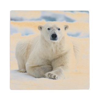 Adult polar bear on the summer pack ice wood coaster
