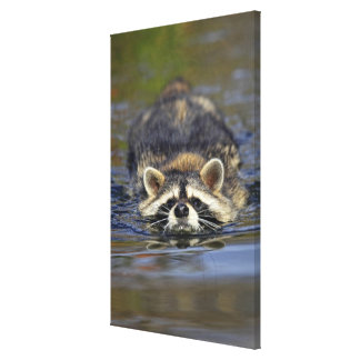 Adult Raccoon, Procyon lotorOrder : Canvas Print