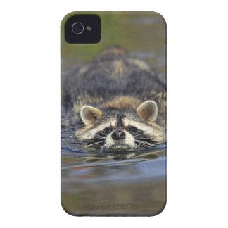 Adult Raccoon, Procyon lotorOrder : Case-Mate iPhone 4 Case