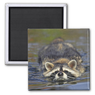 Adult Raccoon, Procyon lotorOrder : Square Magnet