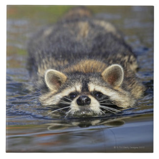 Adult Raccoon, Procyon lotorOrder : Tile