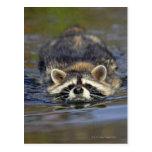 Adult Racoon, Procyon lotorOrder : Postcard