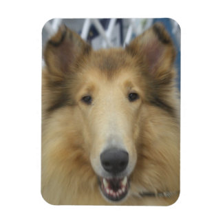Adult rough collie magnet