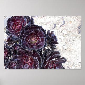 aeonium flower on dry rocks poster