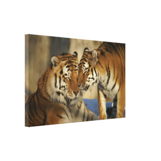 Affectionate Tiger Couple Wrapped Canvas Gallery Wrap Canvas