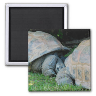 Affectionate Tortoises Magnet