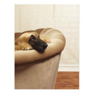 Afghan hound lying on sofa postcard