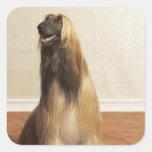 Afghan hound sitting in room 2