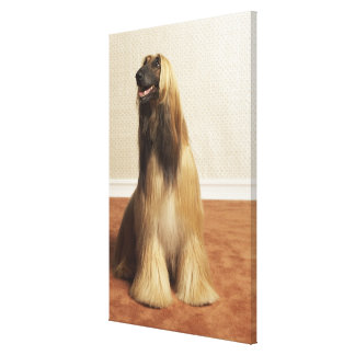 Afghan hound sitting in room 2 canvas print