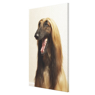 Afghan hound sitting in room canvas print