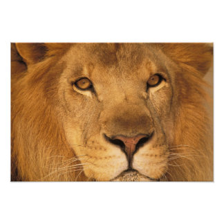 Africa. African male lion, or panthera leo. Photo Art