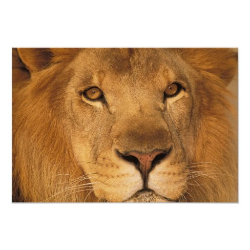 Africa. African male lion, or panthera leo. Photograph