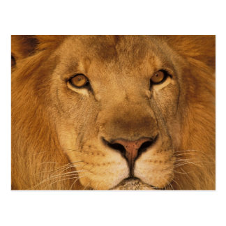 Africa. African male lion, or panthera leo. Postcard