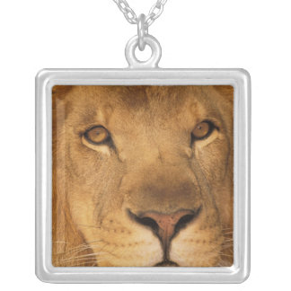 Africa. African male lion, or panthera leo. Silver Plated Necklace