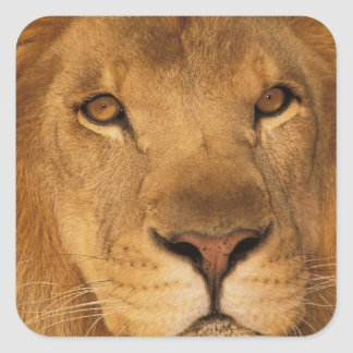 Africa. African male lion, or panthera leo. Square Sticker