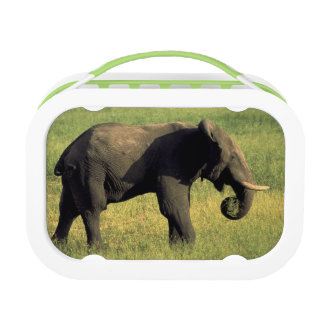 Africa, Botswana, Chobe National Park. Elephant Lunch Box