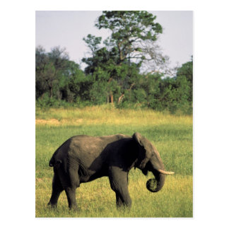 Africa, Botswana, Chobe National Park. Elephant Postcard