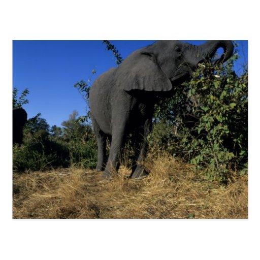Africa, Botswana, Chobe National Park, Elephants Postcards