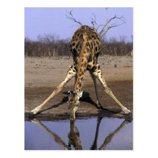 Africa, Botswana, Chobe National Park, Giraffe Postcard