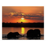 Africa, Botswana, Chobe National Park, Herd of Poster