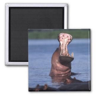 Africa. Botswana. Chobe National Park. Hippo Square Magnet