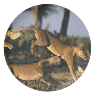 Africa, Botswana, Chobe National Park, Lionesses Plate