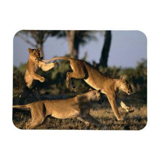 Africa, Botswana, Chobe National Park, Lionesses Rectangular Photo Magnet