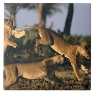 Africa, Botswana, Chobe National Park, Lionesses Tile