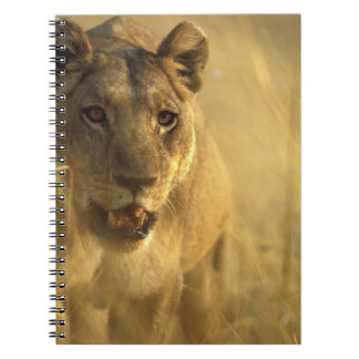 Africa, Botswana, Moremi Game Reserve, Lioness Notebook