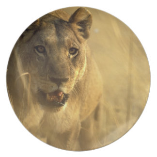 Africa, Botswana, Moremi Game Reserve, Lioness Plate