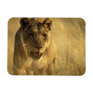 Africa, Botswana, Moremi Game Reserve, Lioness Rectangular Photo Magnet