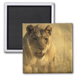 Africa, Botswana, Moremi Game Reserve, Lioness Square Magnet