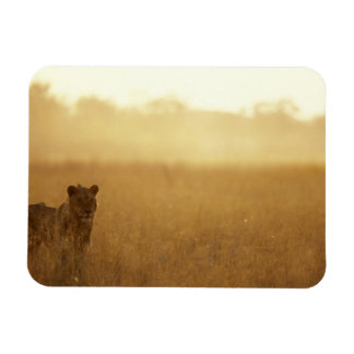 Africa, Botswana, Moremi Game Reserve, Male Lion Magnet