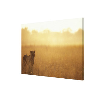 Africa, Botswana, Moremi Game Reserve, Male Lion Stretched Canvas Print