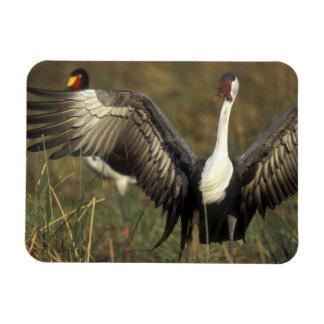 Africa. Botswana, Moremi Game Reserve, Wattled Rectangular Magnet