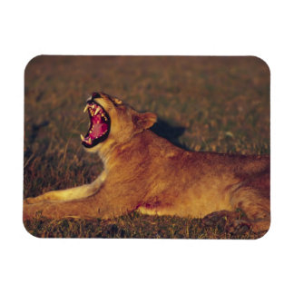 Africa,Botswana,Moremi Wildlife Reserve. Lioness Rectangular Photo Magnet