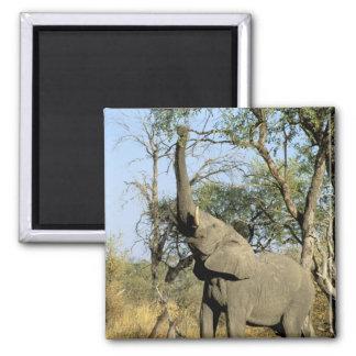 Africa, Botswana, Okavango Delta. African 2 Square Magnet