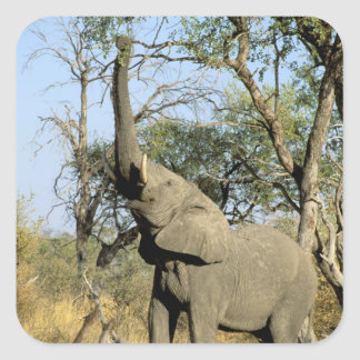 Africa, Botswana, Okavango Delta. African 2 Square Sticker