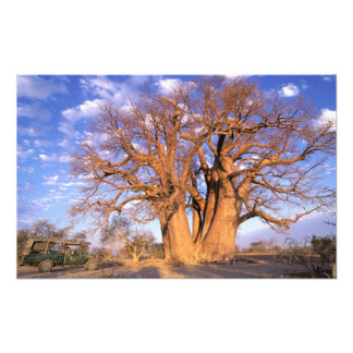 Africa, Botswana, Okavango Delta. Baobab Photograph