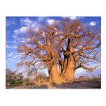Africa, Botswana, Okavango Delta. Baobab Post Cards