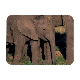 Africa, Botswana, Okavango Delta. Elephants Magnet