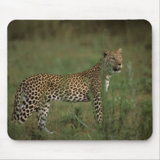 Africa, Botswana, Okavango Delta. Leopard Mouse Pad