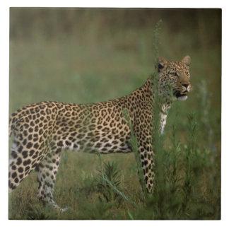 Africa, Botswana, Okavango Delta. Leopard Tile