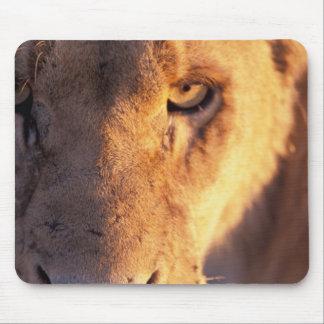 Africa, Botswana, Okavango Delta. Lion close Mousepads