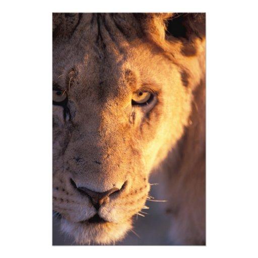 Africa, Botswana, Okavango Delta. Lion close Photo