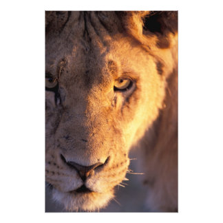 Africa, Botswana, Okavango Delta. Lion close Photo Print