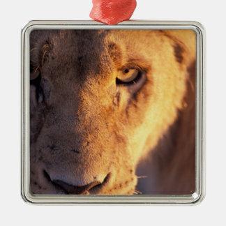 Africa, Botswana, Okavango Delta. Lion close Silver-Colored Square Decoration